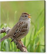 immature White-crowned Sparrow Canvas Print