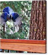 Incoming Steller's Jay Canvas Print