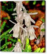 Indian Pipes On Club Moss Canvas Print