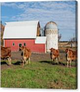 Jersey Steer Is A Curious Beast Canvas Print