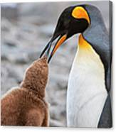 King Penguin Feeding A Chick Canvas Print