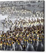 King Penguin Rookery At Salisbury Canvas Print