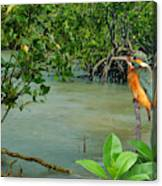 Kingfisher In The Mangroves Canvas Print