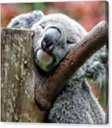 Koala Catching Zs Canvas Print