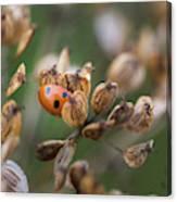 Lady Bird / Lady Bug In Flower Seed Head Canvas Print