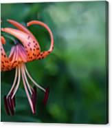 Lancifolium - The Tiger Lily Canvas Print