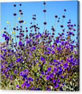 Lavender Blooms  Canvas Print