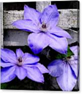 Lavender Clematis On Vine Canvas Print