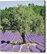 Lavender Field And Tree Canvas Print