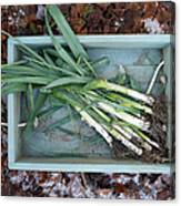 Leeks In Wooden Box On A  Frosty Winter Canvas Print