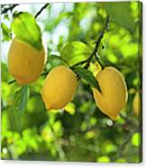 Lemon Fruits In Orchard Canvas Print