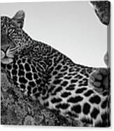 Leopard Lazing In A Tree Canvas Print