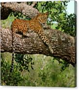 Leopard Sitting On A Branch Canvas Print