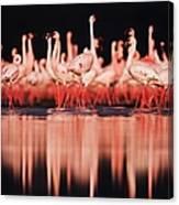 Lesser Flamingos  Phoenicopterus Ruber Canvas Print