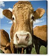 Limousin Bull Canvas Print