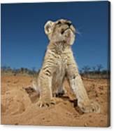 Lion Cub Panthera Leo Sitting On Sand Canvas Print