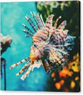 Lion Fish Hunting Among Coral Reefs Canvas Print