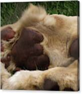 Lion's Feet Canvas Print