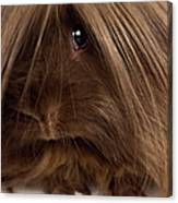 Long Haired Guinea Pig, Close-up Canvas Print