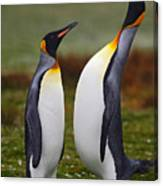 Male And Female Of King Penguin, Couple Canvas Print