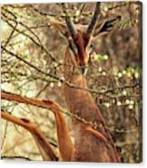Male Gerenuk Canvas Print
