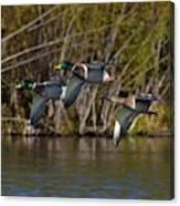 Mallards Flying By Canvas Print