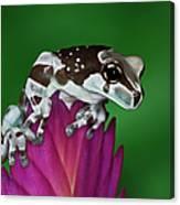 Milk Frog, Trachycephalus Resinifictrix Canvas Print