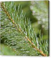 Moist Pine Tree Leaves With Water Droplets. Canvas Print