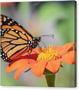 Monarch 2018-25 Canvas Print