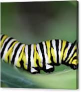 Monarch Caterpillar Macro Canvas Print