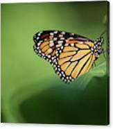 Monarch On Milkweed Canvas Print