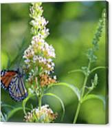 Monarch On White Butterfly Bush Canvas Print