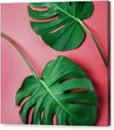 Monstera Leaf On Pink Background Canvas Print