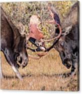 Moose Bulls Spar Close Up Canvas Print