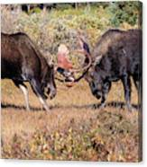 Moose Bulls Spar In The Colorado High Country Canvas Print