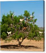 Moroccan Goats In An Argan Tree Argania Canvas Print
