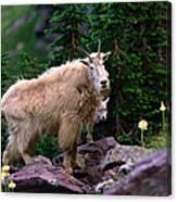Mountain Goat Oreamnos Americanus Canvas Print
