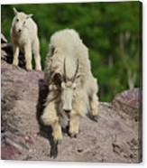 Mountain Goats- Nanny And Kid Canvas Print