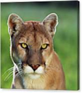Mountain Lion Felis Concolor, Portrait Canvas Print