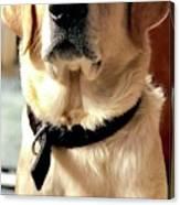 Labrador Dog Canvas Print