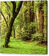 Muir Woods Forest Canvas Print