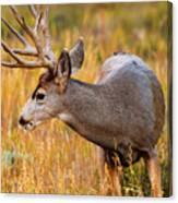 Mule Deer Buck In Rocky Mountain National Park Canvas Print