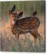 Myna Birds Sturnidae Sp. On Axis Deer Canvas Print