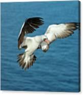 Nazca Booby Landing At Gardner Inlet Canvas Print