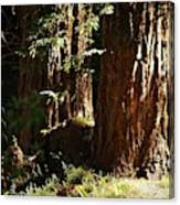 New Growth Redwoods Canvas Print