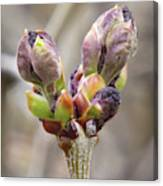 New Life In The Lilacs Canvas Print