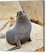 New Zealand Fur Seal, Arctocephalus Canvas Print