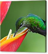 Nice Hummingbird Green-crowned Canvas Print