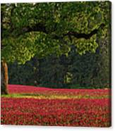 Oak Tree In Red Clover Field Canvas Print