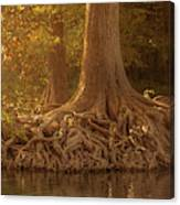 Old Cypress Tree Roots Canvas Print